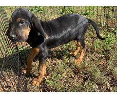 10 weeks Bloodhound Puppy