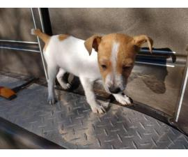 2 males and 2 females purebred Jack Russell Terrier puppies