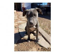 Blue pit puppy needing new home