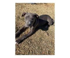 Blue pit puppy needing new home