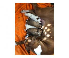 6 Boxer Puppies Available