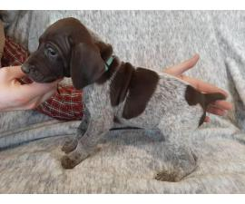 One AKC GSP puppy for sale