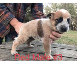 Two males red heeler pups