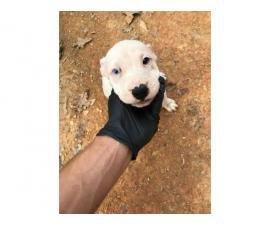 3 American Pitbull Puppies rehoming