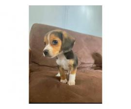 Three beagle puppies for sale