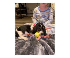 9 week old female basset hound puppy
