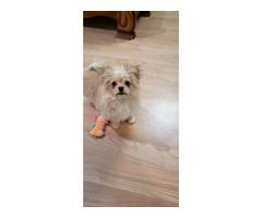 Maltese Pomeranian Puppy for Sale