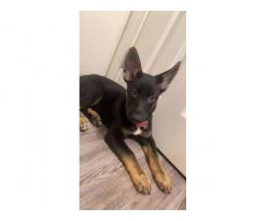 10 weeks old German Shepherd