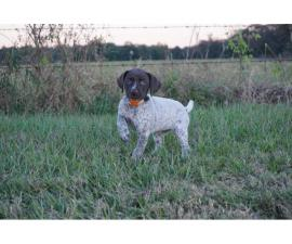 4 females German Shorthaired puppies available