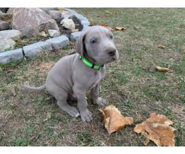 2 male Great Dane puppies