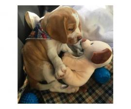 Adorable beagle puppies available for sale