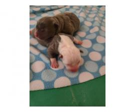 7 Bluenosed pit bull puppies available