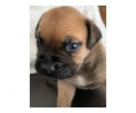 4 AKC Male Red Fawn Bullmastiff Puppies for Sale