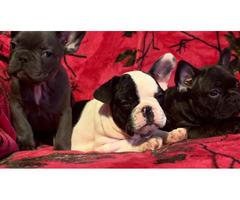 3 amazing French Bulldog Pups