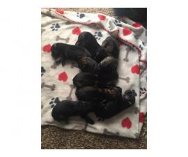 8 Akc german shepard puppies for sale
