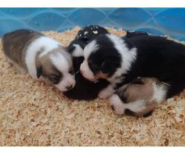 5 Welsh Corgi Puppies