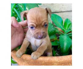 3 beautiful Chihuahua puppies for sale