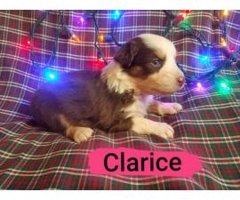 5 AKC Aussie Puppies for Adoption