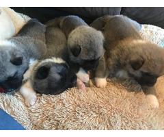 Purebred Akita puppies 4 females and 1 males