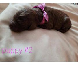 6 gorgeous purebred standard poodle puppies