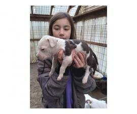 Beautiful males and females Pitbull puppies