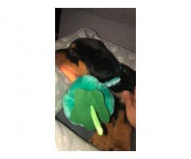 5 Rottweiler puppies for sale
