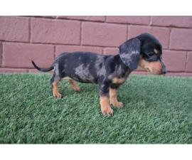 Tricolor Merle Dachshund Puppies