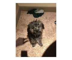 Male Maltipoo puppy for sale