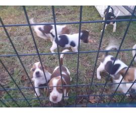 6 week old purebred Beagle puppies for sale
