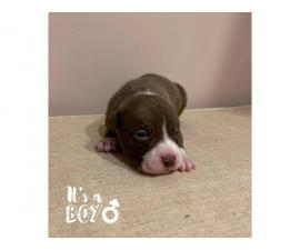 Border Collie Pit Puppies for Sale