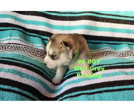 Purebred Siberian Husky puppies in need of forever homes