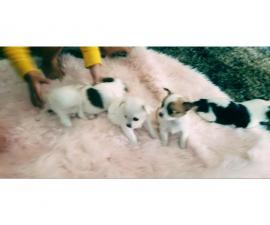 Longhaired Chihuahua puppies
