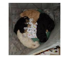 5 Havanese puppies for Sale