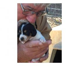 Jack Russell Beagle 5 Puppies Available