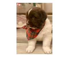 Newfie puppies