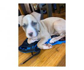 13 weeks old full blooded blue fawn female Pitbull puppy