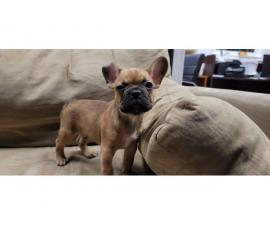 Lovely dark male fawn AKC Frenchie puppy