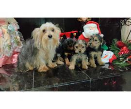 4 Yorkshire Terrier Puppies for a good home