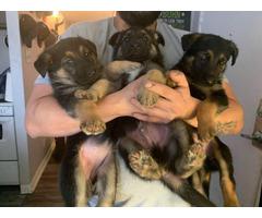 4 boys and a girl German shepherd puppies
