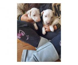 2 males and 1 female Bull terrier puppy for sale