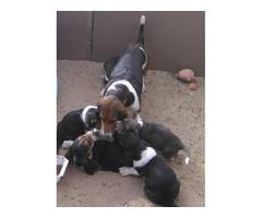 4 purebred Basset Hound Puppies