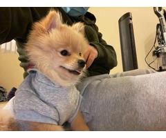 Female Pomeranian Pup for Sale