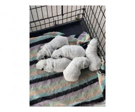 Blue Heeler Puppies 3 males and 1 female