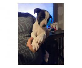 Border Collie Puppy looking for new home