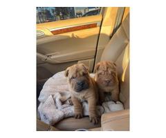 Purebred pet quality Sharpei puppies
