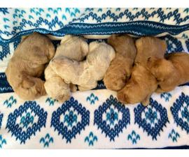 1 boy and 5 girs Goldendoodle puppies for sale