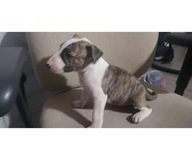 2 months old English Bull Terriers for Sale