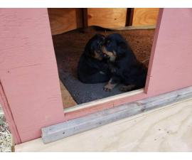 2 German Rottweilers for Sale