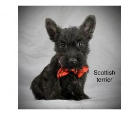 Full breed Scottish terrier puppies