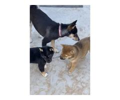 3 Purebred Shiba Inu puppies